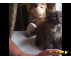 Kocieta MaineCoon o przepieknej urodzie!