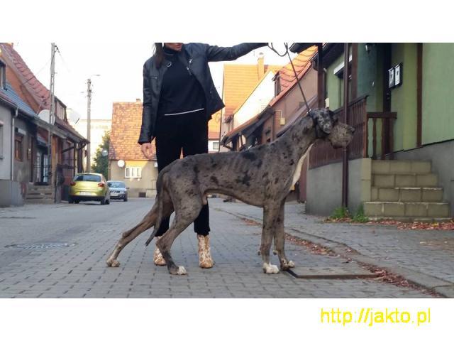 dog niemiecki Ares do adopcji