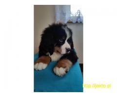 Berneński Pies Pasterski z Rodowodem