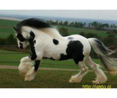 Koń cygański NA SPRZEDAŻ