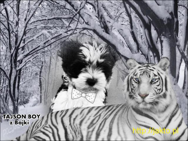 Tajson Boy z Bajki - rasowy cudny York Biewer z rodowodem 100 % rasowy.