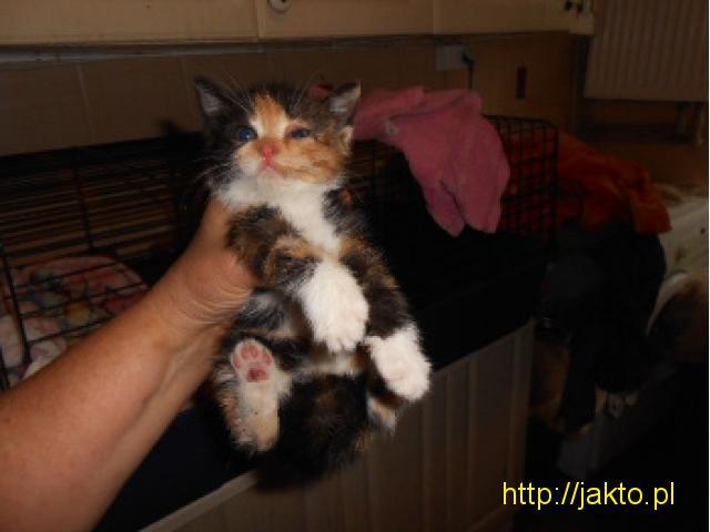Prześliczne kocięta do adopcji